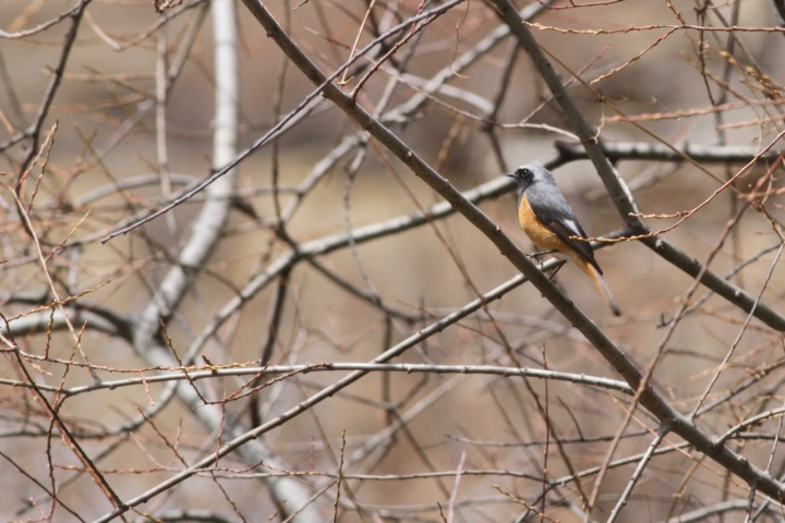 Daurian redstart, 2 April 2018