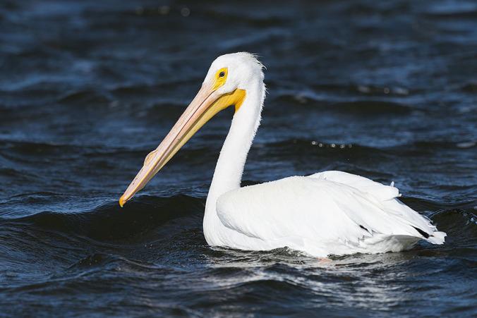 American White Pelican by Leander Khil - La Paz Group
