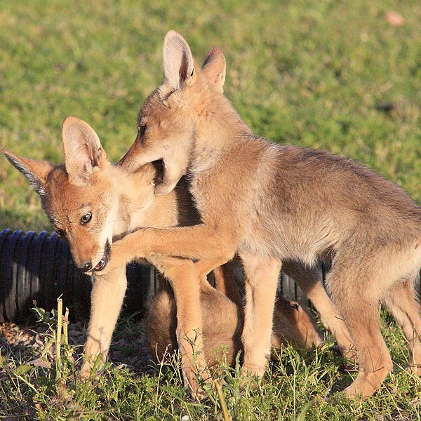 600px-Gpa_bill_coyote_pups_3