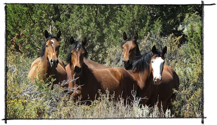 ACTION ALERT: Comment by July 1st to save the Twin Peaks HMA's wild horses &burros