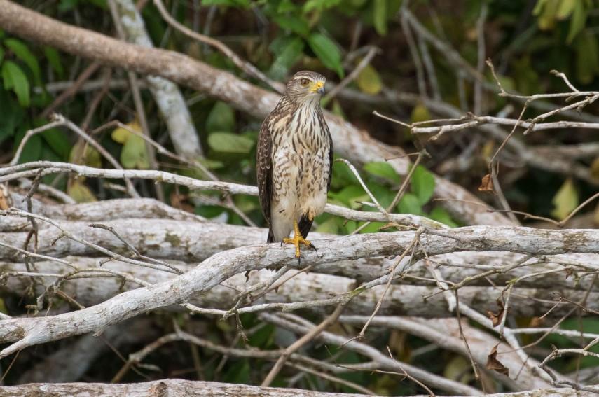 Gray Hawk by Richard Kostecke - La Paz Group